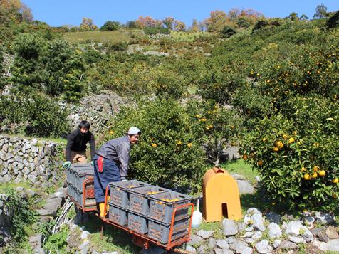 Thông tin đơn hàng trồng và thu hoạch quýt tại Ehime, Nhật Bản