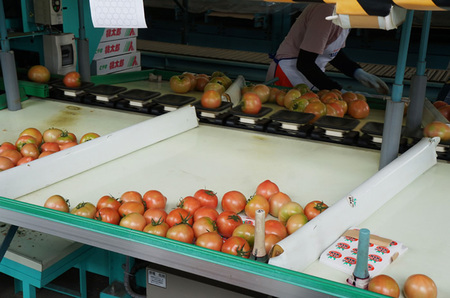 đơn hàng đặc định trồng và thu hoạch cà chua
