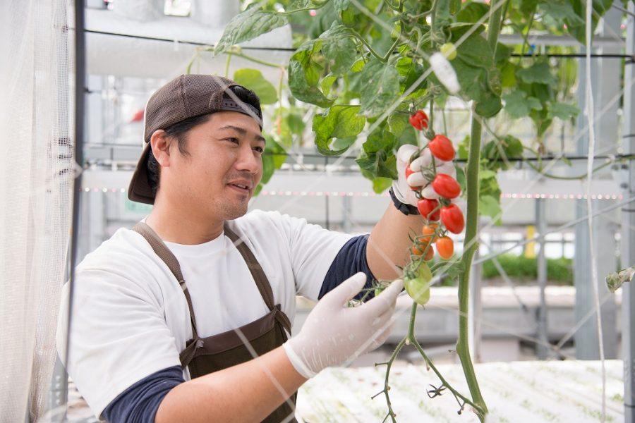 Đơn hàng đặc định trồng và thu hoạch cà chua tại Aomori lương khủng 04/2021