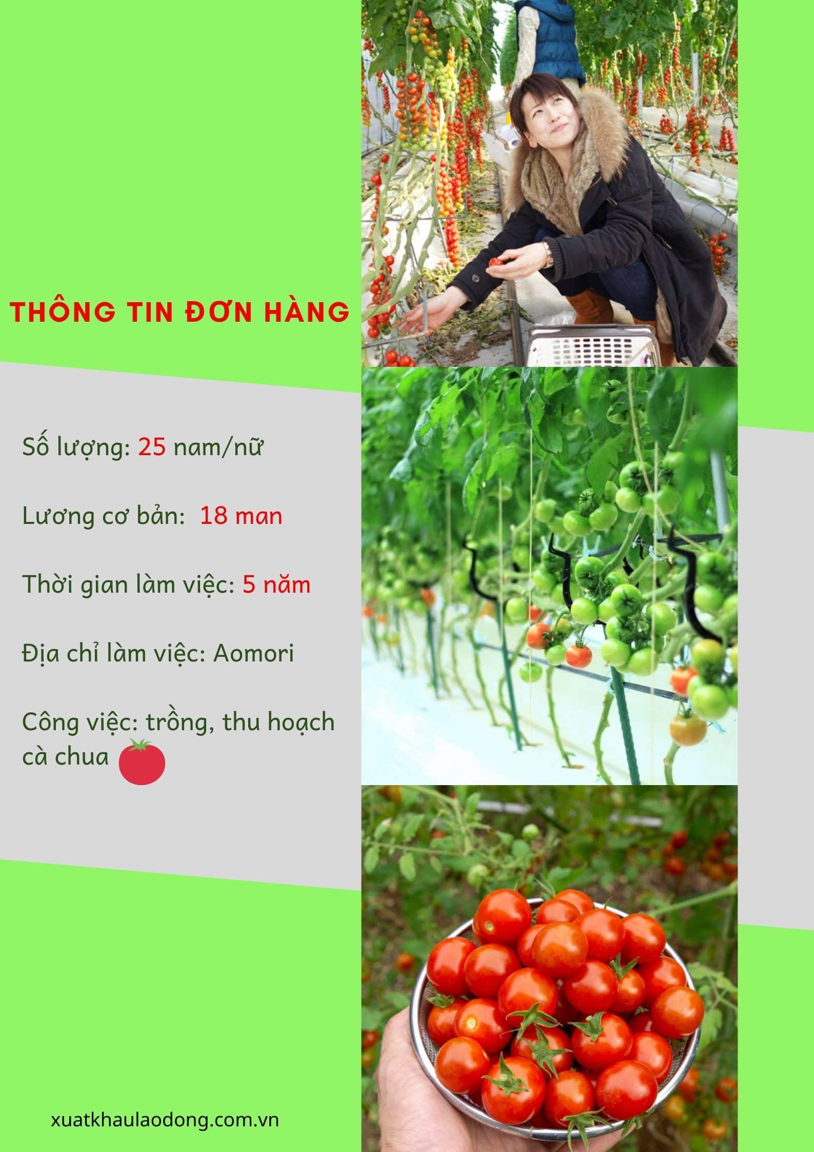 Thực tế đơn hàng đặc định trồng và thu hoạch cà chua