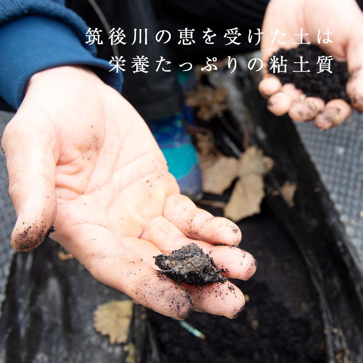 Đơn hàng trồng và thu hoạch đâu tây tại Kumamoto, Nhật Bản
