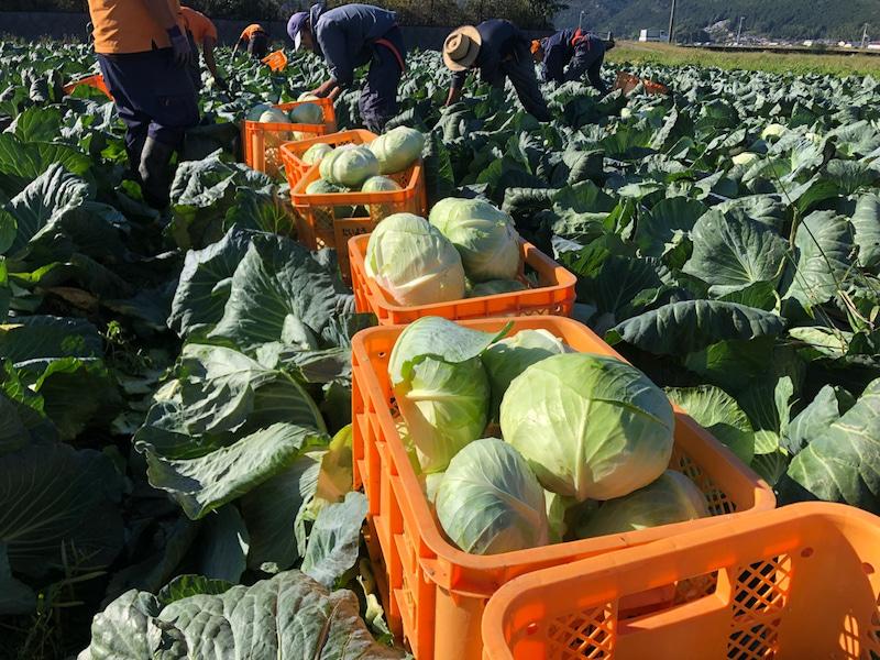 Đơn hàng đặc định thu hoạch và đóng gói bắp cải tại Hokkaido lương 18.7 man