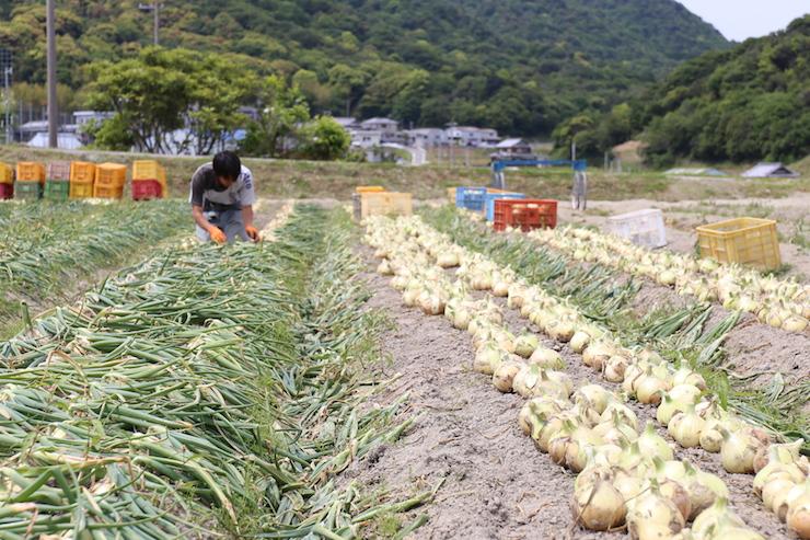 đơn hàng trồng và thu hoạch hành tây tại Hyogo