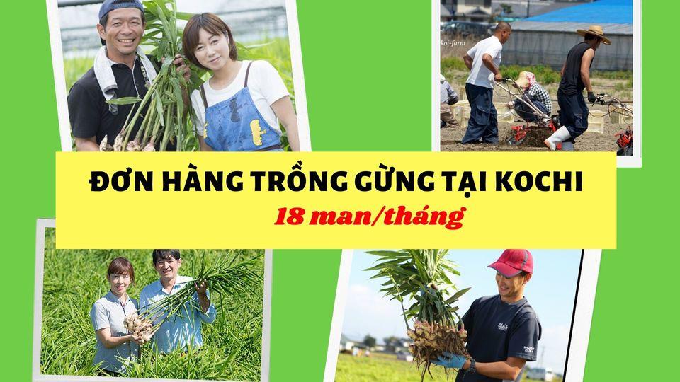 Cần gấp 90 nam/nữ trồng và thu hoạch gừng lương siêu cao tại Kochi