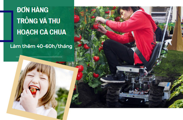 SIÊU HOT- Tuyển 9 Nữ đơn hàng trồng và thu hoạch cà chua tại Oita - cam kết lương>35 triệu